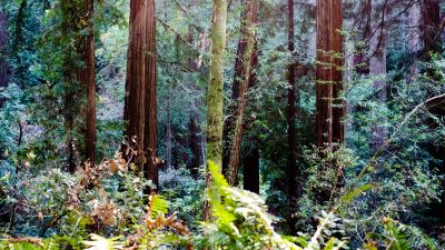 Muir Woods, California, Redwood trees, Forest, Tall Trees, Woods, Landscape