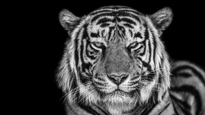 Tiger, Monochrome, Black background, Closeup, Portrait, 5K