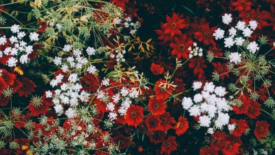Red flowers, White flowers, Blossom, Floral, Closeup, Flower garden, Aesthetic