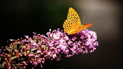 Fritillaries, Butterfly, Yellow, Pink flowers, Selective Focus, Blur background, Closeup