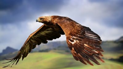 Raptor, Birds of Prey, Carnivorous birds, Flying, Mid Air, Blur background