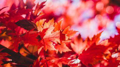 Maple leaves, Red leaves, Selective Focus, Autumn, Blur background, Closeup, 5K