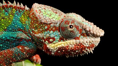 Chameleon, Lizard, Multicolor, Closeup, macro, Pattern, Black background, AMOLED, HDR