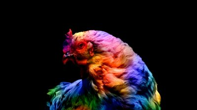 Chicken, Colorful, Black background, AMOLED