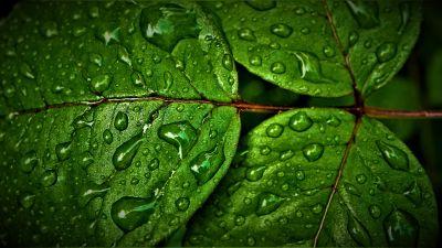 Green leaves, Wet, Rain drops, Water drops, Closeup, Macro, Greenery, Pattern, High Dynamic Range, Fresh, HDR, 5K
