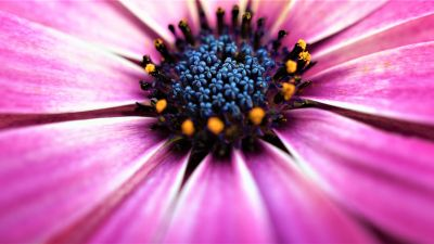 Pink Daisy, Closeup, Macro, Pink flowers, Spring, Blossom, Bloom, Petals, Selective Focus, Flora, Pattern, 5K