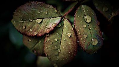 Wet Leaves, Rainy Weather, Water drops, Closeup, Macro, Rain drops, HDR, Pattern, 5K
