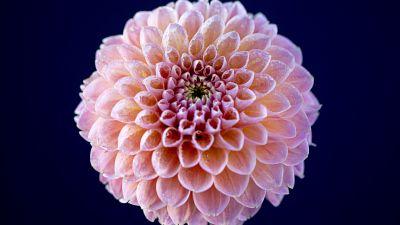 Chrysanthemum flowers, Pink flower, Dark background, Closeup, Macro, Blossom, Bloom, Spring, Dew Drops, Pattern, Flora, 5K