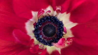 Red flower, Closeup, Macro, Blossom, Bloom, Spring, Floral, Petals, Red background, 5K