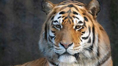 Bengal Tiger, Portrait, Close up