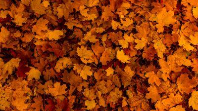 Fallen Leaves, Autumn, Maple leaves, Texture, Foliage, Seasons, 5K