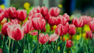 Pink Tulips, Flower garden, Greenery, Wet Flowers, Blossom, Bloom, Floral, 5K, 8K