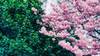 Cherry blossom, Green leaves, Pink flowers, Spring, Beautiful, Greenery, 5K, 8K