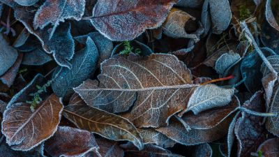 Frozen Leaves, On the ground, Winter, Dry Leaves, Foliage, Leaf Background