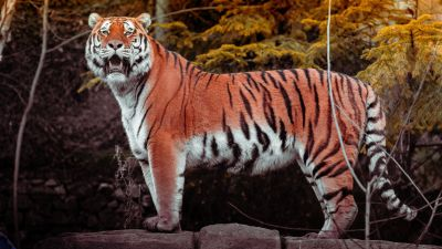 Tiger, Big Cat, Wildlife, Forest, Predator, Carnivore, Walking, Panoramic, Zoo, 5K