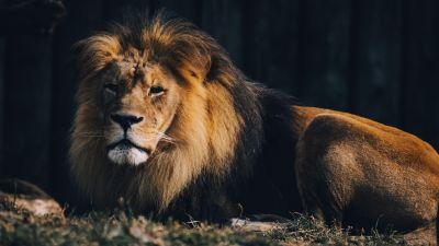 Lion, Wildlife, Carnivore, Predator, Zoo, Safari ride, 5K