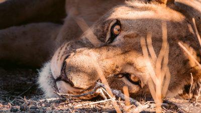 Lioness, Stare, Carnivore, Predator, Day time