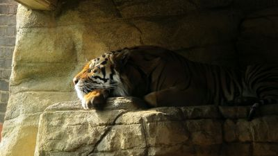 Sleeping Tiger, Rock, Big Cat, Carnivore, Predator, Sun light, Zoo