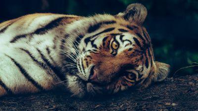 Siberian tiger, Starring, Close up, Selective Focus, Big cat, Carnivore, Predator, Wild animal, 5K