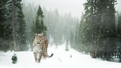 Leopard, Snow, Winter, Forest, Snow leopard, Pine trees, 5K