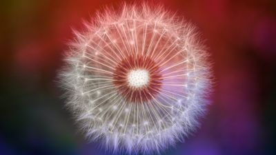 Dandelion flower, Closeup, Macro, Bokeh, 5K