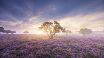 Spring, Sunrise, Bloom, Purple flowers, Heath