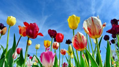 Tulips, Colorful flowers, Blue Sky, Spring, 5K