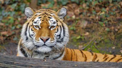 Siberian tigress, Big cat, Amur tiger, Predator, Carnivore, Lying down, Forest, Zoo, Wild animal, Starring, 5K