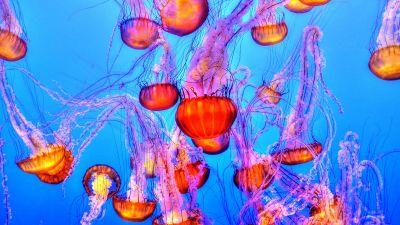 Orange Jelly Fishes, Blue background, Underwater, Marine life, Sea Life, Monterey Bay Aquarium