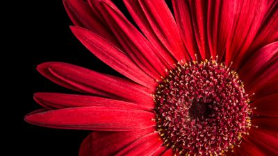 Gerbera Daisy, Red flowers, Black background, AMOLED, Closeup, macro