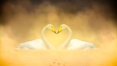 White Swan, Love Birds, Heart shape, Autumn leaves, Yellow, Digital composition