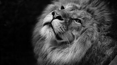 African Lion, Black background, Wild animal, Portrait, Predator, Carnivore, Grayscale, Closeup, Feline