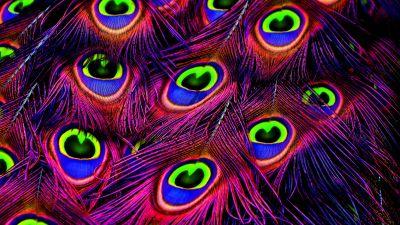 Peacock feather, Plumage, Peacock Wheel, Purple, Vibrant, Colorful