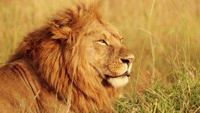 African Lion, Big cat, Predator, Wild animal, Portrait, Safari, Carnivore