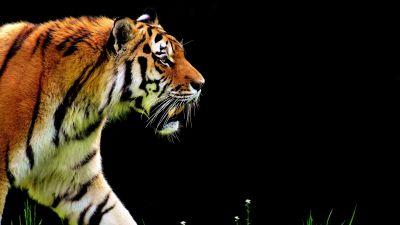 Tiger, Big cat, Black background, Fur, Predator, Carnivore, Feline, Wild animal, 5K