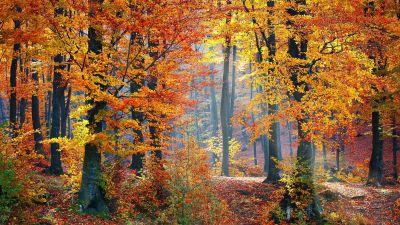 Autumn trees, Fallen Leaves, Seasons, Forest, Landscape, Scenery, Woods