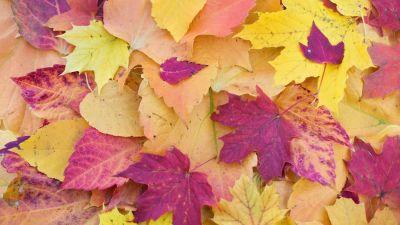 Maple leaves, Autumn Fall, Foliage, Seasons, Fallen Leaves, Colorful, Leaf Background, 5K