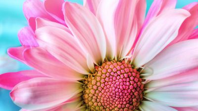 Pink Daisy, Macro, Flora, Petals, Blossom, Bloom, Spring, Closeup, 5K