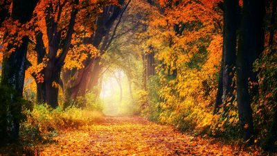 Forest, Dirt road, Maple trees, Autumn, Fall, Light, 5K