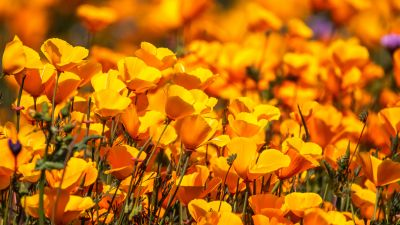 Poppy flowers, Floral Background, Yellow flowers, Blossom, Spring, Bloom, 5K, 8K