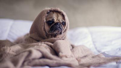 Fawn Pug, Sad, Innocent, Adorable, Blanket, Pet dog, Funny, Canine, Puppy, 5K