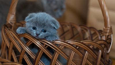 Russian Blue Kitten, Cat, Brown Basket, Pet, Kawaii, Feline, Sad, Mood, 5K