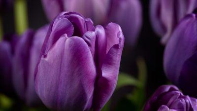 Purple tulips, Closeup, Macro, Bokeh, Blossom, Bloom, Spring, Garden, Petals, 5K