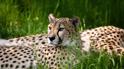 Cheetah, Grass, Wild animals, Cologne Zoological Garden, Germany, Beauty