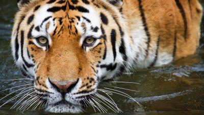 Tiger, Zoo, Wildlife, Big cat, Closeup, Wuppertal, Germany