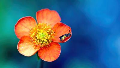 Bee, Pollination, Macro, Orange Flower, Bokeh, Blue background