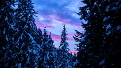 Pine trees, Snow covered, Winter, Forest, Sunset, 5K