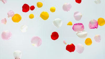 Colorful Petals, Multicolor, White background, Aesthetic, Flora, Rose Petals, Floating, 5K