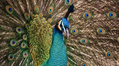 Peacock, Bird, Plumage, Peacock feather, Pattern, Close up, Beautiful, 5K