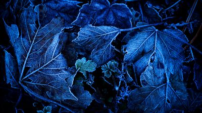 Frozen Leaves, Foliage, Blue, Close up, On The Ground, Winter, 5K